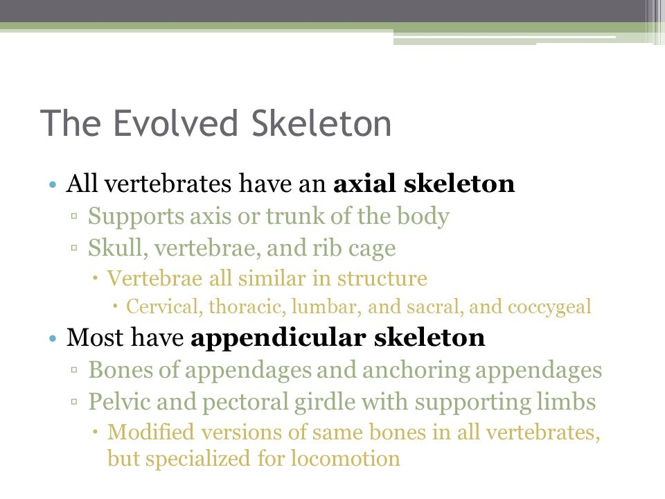 The Evolved Skeleton All vertebrates have an axial skeleton