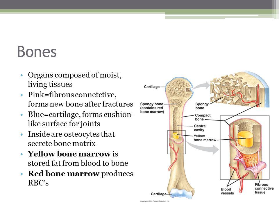 Bones Organs composed of moist, living tissues