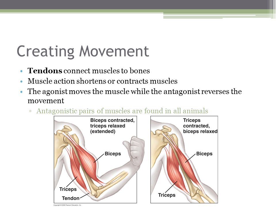 Creating Movement Tendons connect muscles to bones