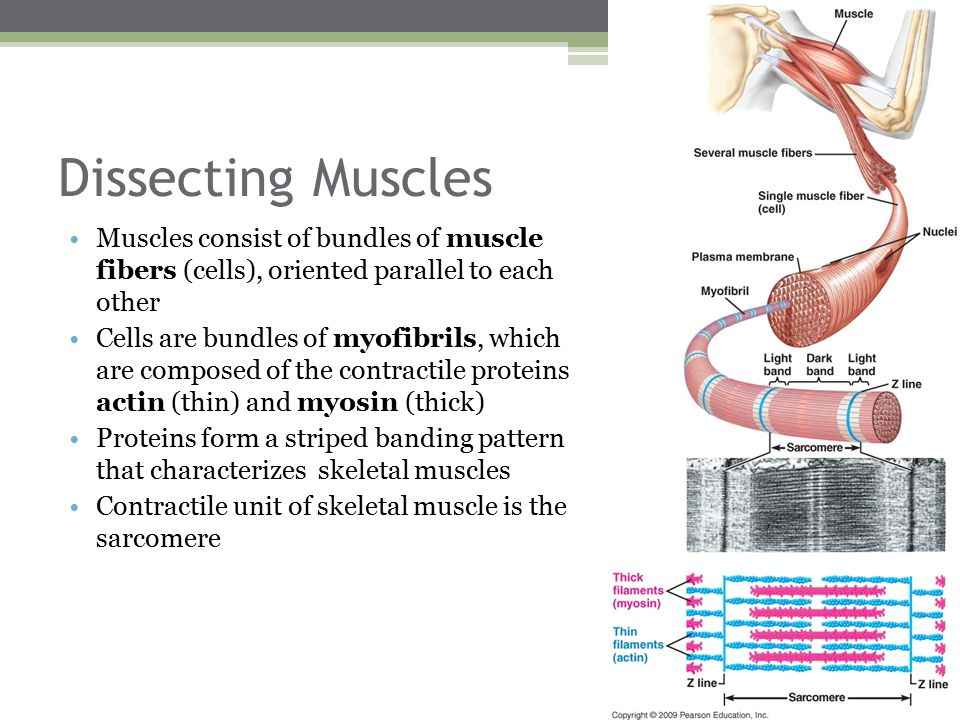 Dissecting Muscles Muscles consist of bundles of muscle fibers (cells), oriented parallel to each other.