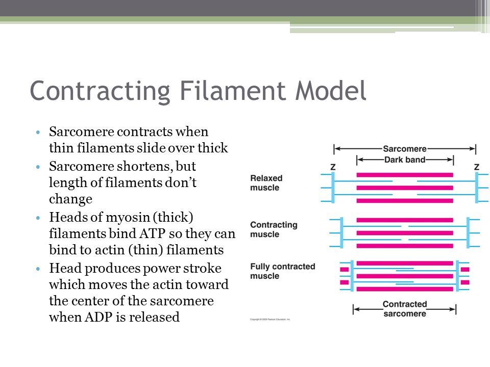 Contracting Filament Model