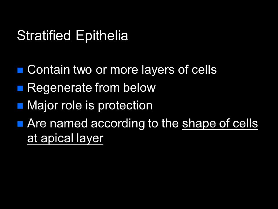 Stratified Epithelia Contain two or more layers of cells