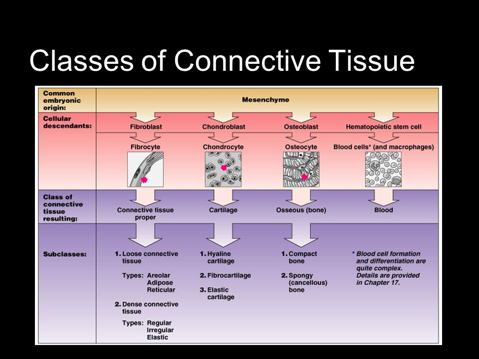 Classes of Connective Tissue