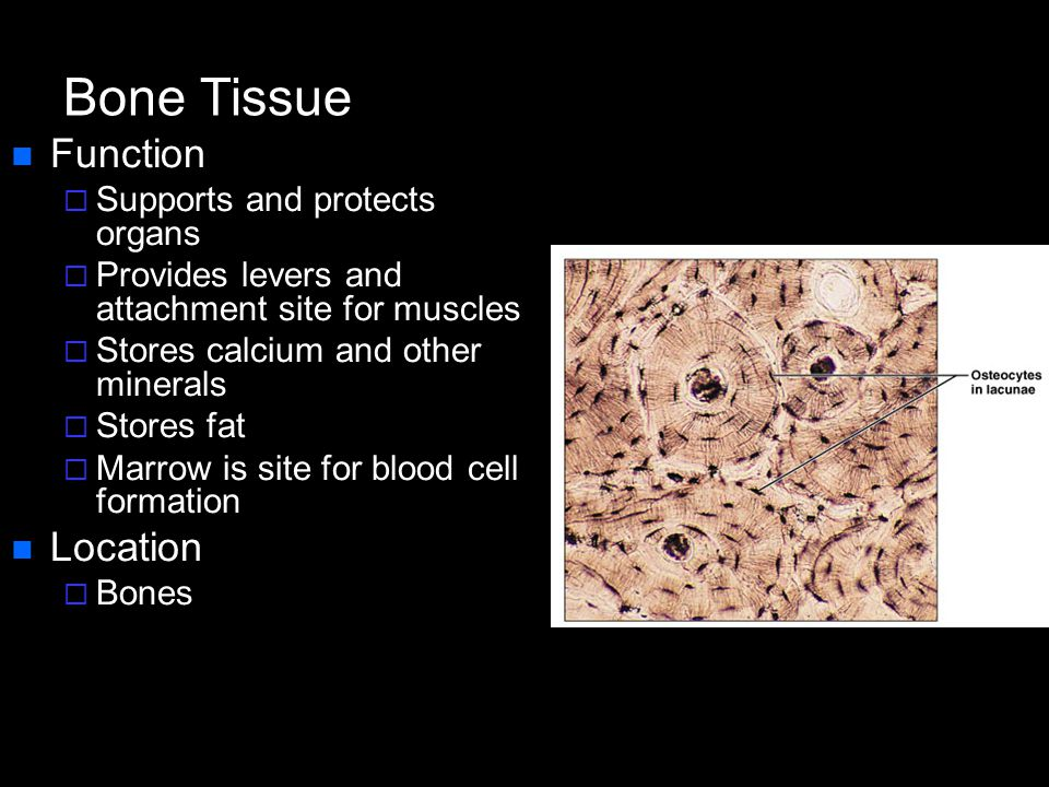 Bone Tissue Function Location Supports and protects organs