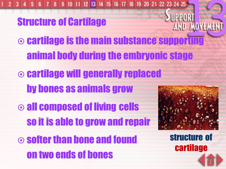 structure of cartilage
