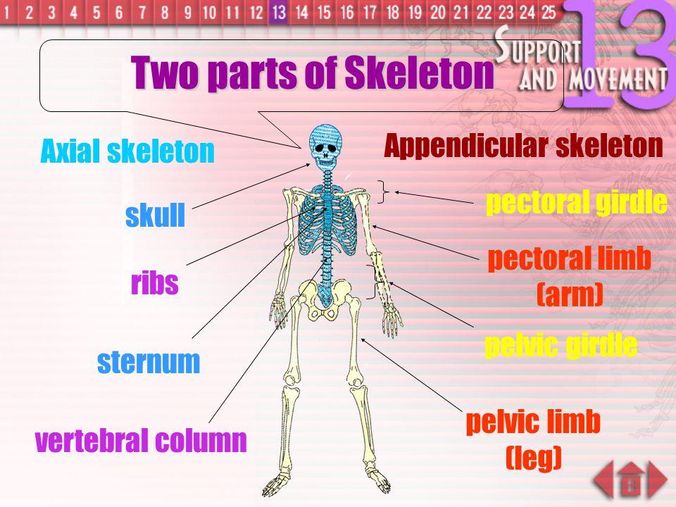 Two parts of Skeleton Appendicular skeleton Axial skeleton