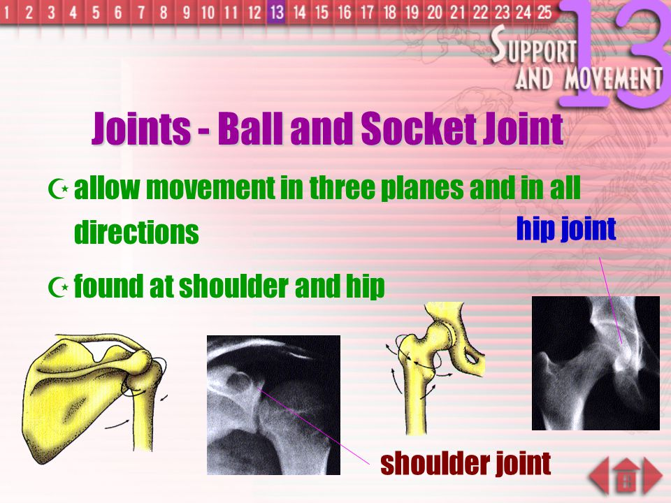 Joints - Ball and Socket Joint