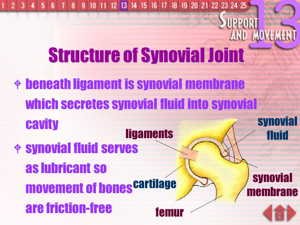 Structure of Synovial Joint