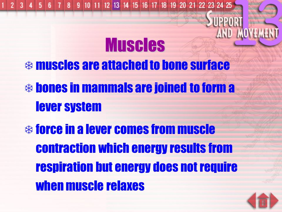 Muscles muscles are attached to bone surface