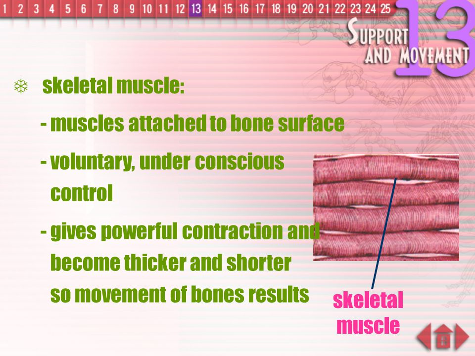 skeletal muscle: - muscles attached to bone surface. - voluntary, under conscious control.