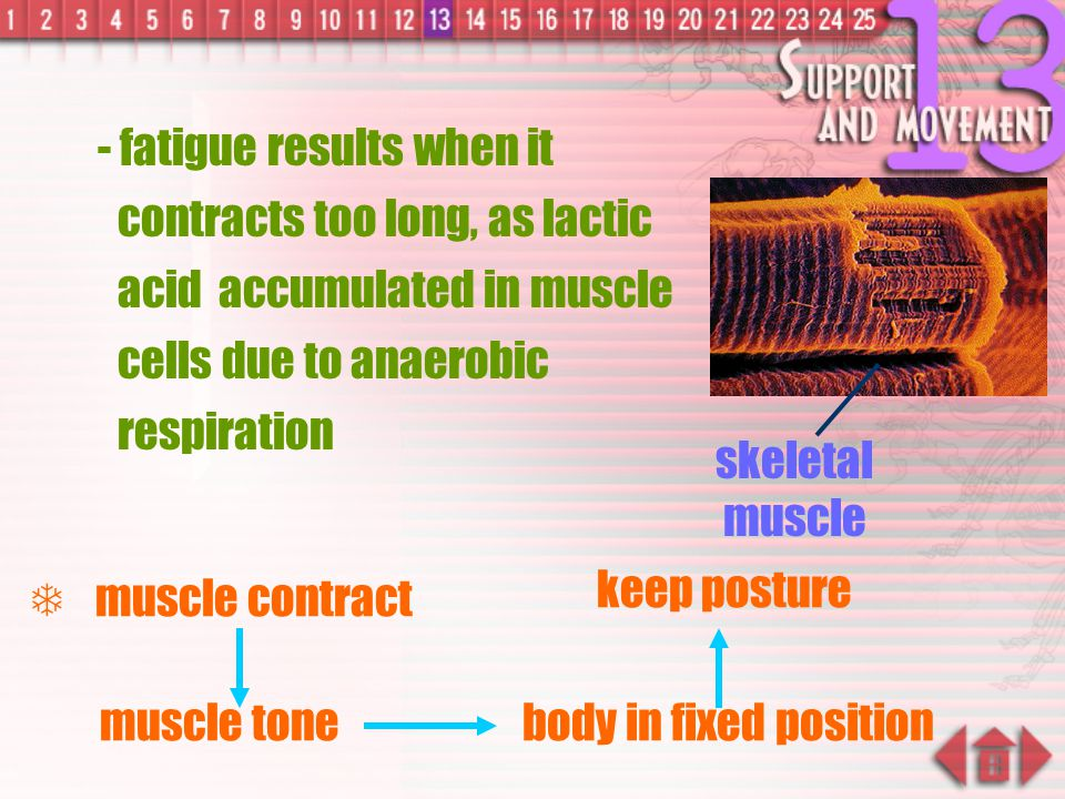 - fatigue results when it contracts too long, as lactic acid accumulated in muscle cells due to anaerobic respiration