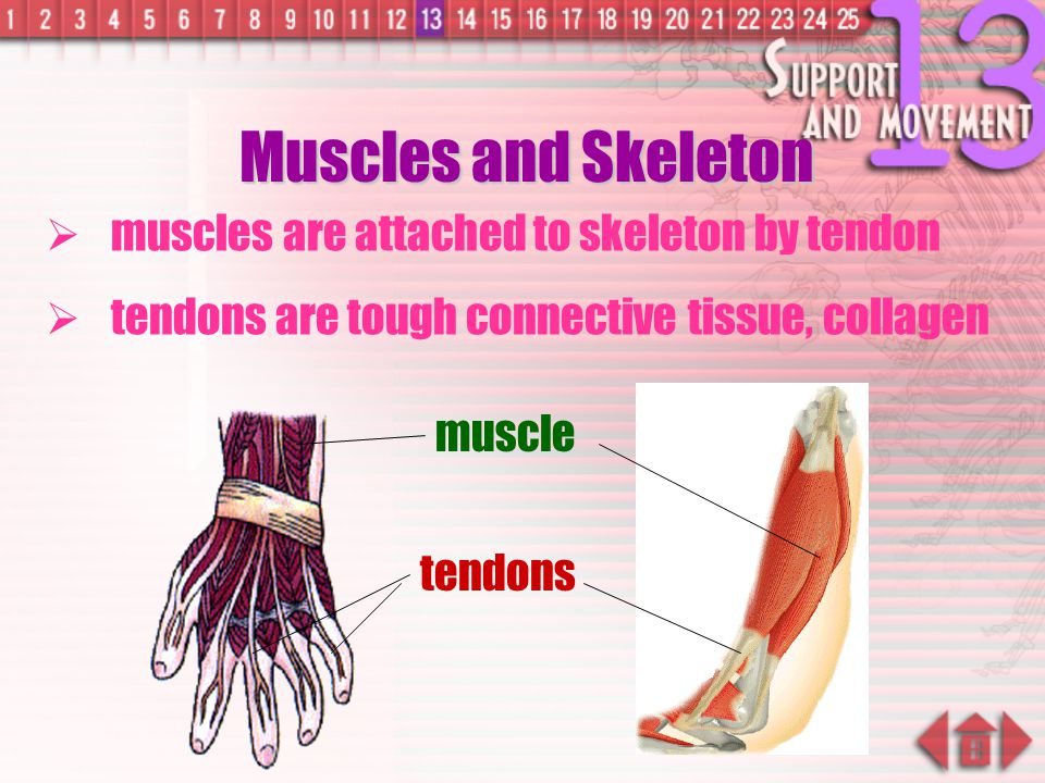 Muscles and Skeleton muscles are attached to skeleton by tendon