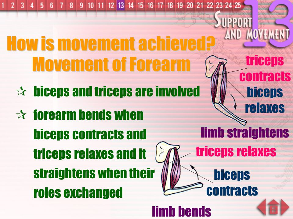 How is movement achieved Movement of Forearm