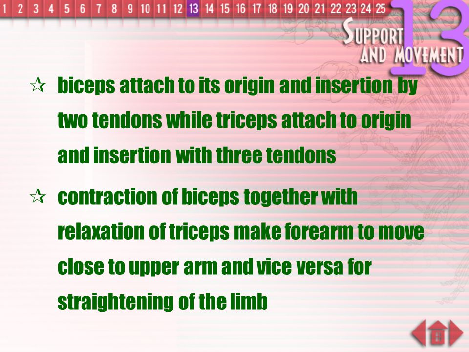 biceps attach to its origin and insertion by two tendons while triceps attach to origin and insertion with three tendons