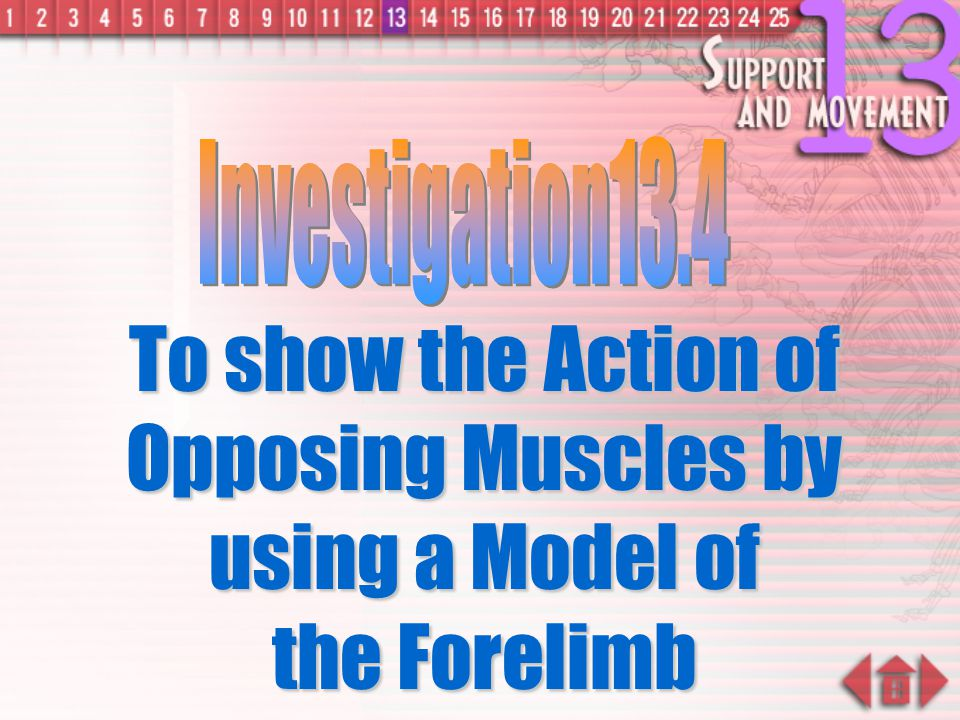 Investigation13.4 To show the Action of Opposing Muscles by using a Model of the Forelimb.