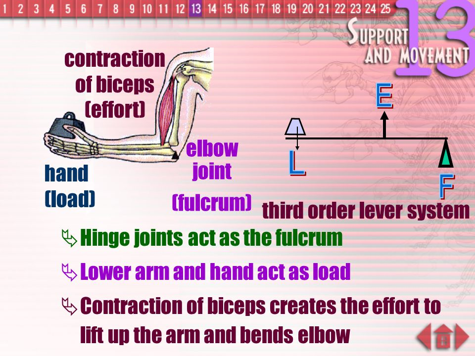contraction of biceps (effort)