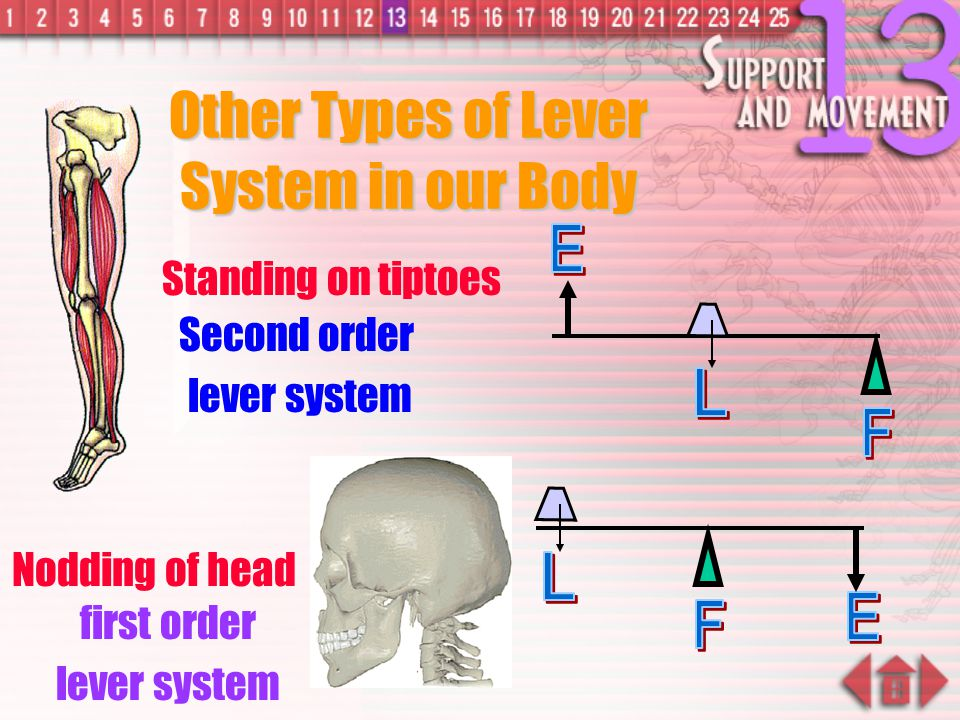 Other Types of Lever System in our Body