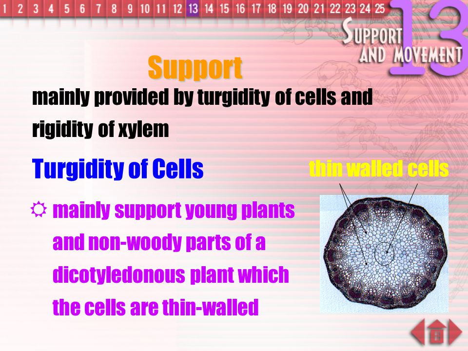 Support Turgidity of Cells