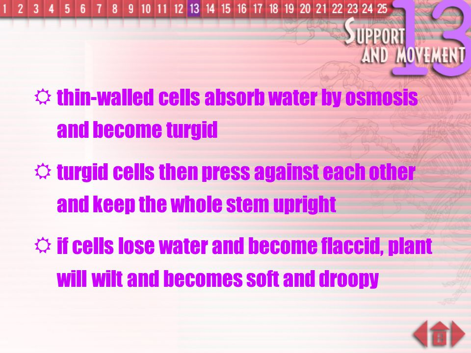 thin-walled cells absorb water by osmosis and become turgid