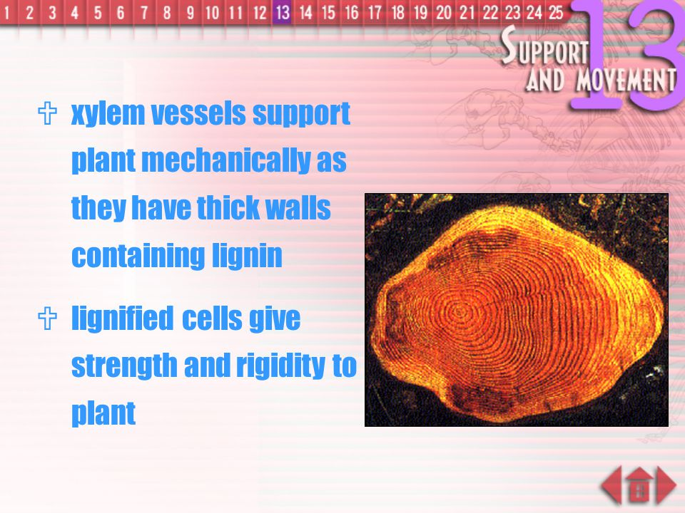 xylem vessels support plant mechanically as they have thick walls containing lignin