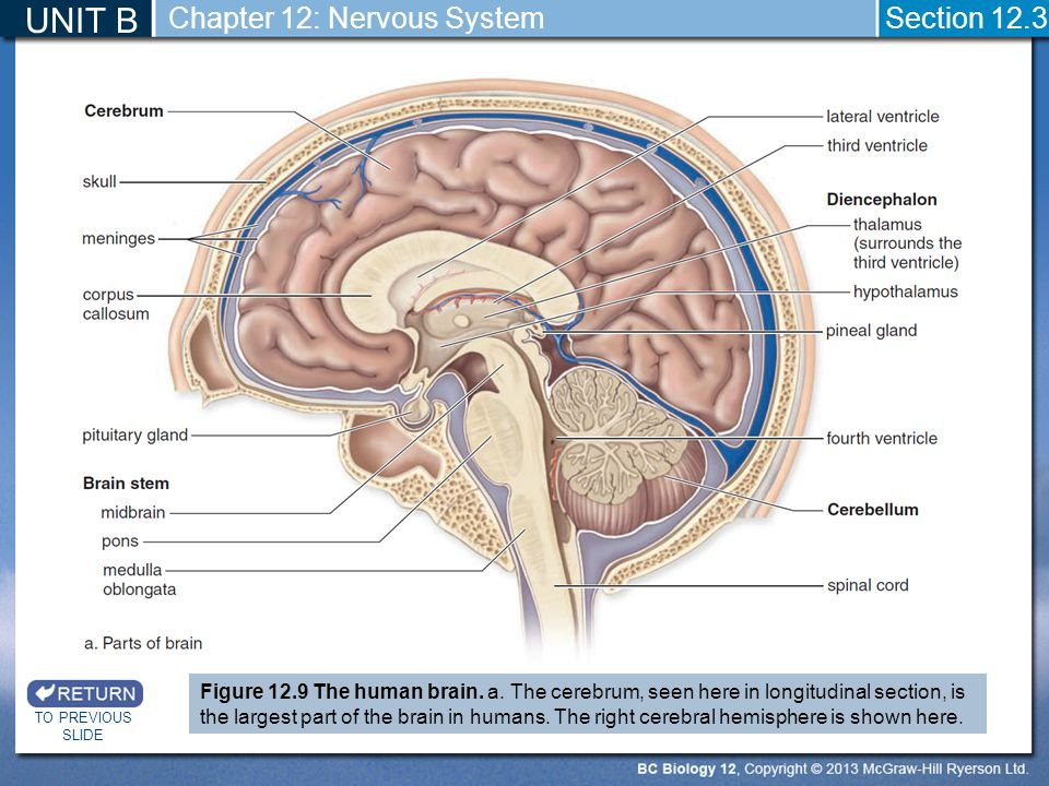 UNIT B Chapter 12: Nervous System Section 12.3