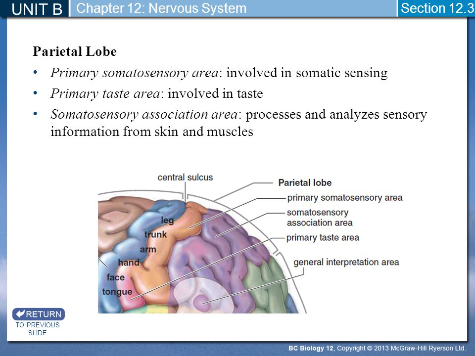 UNIT B Chapter 12: Nervous System. Section 12.3. Parietal Lobe. Primary somatosensory area: involved in somatic sensing.