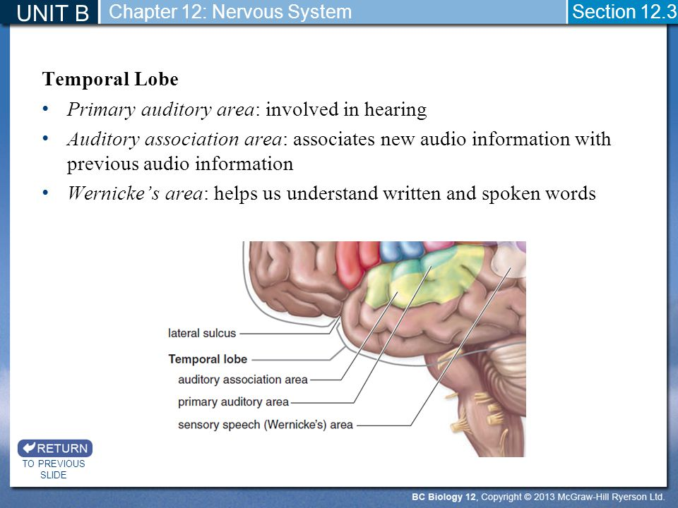 UNIT B Temporal Lobe Primary auditory area: involved in hearing