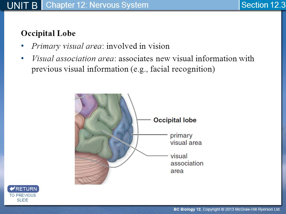UNIT B Occipital Lobe Primary visual area: involved in vision