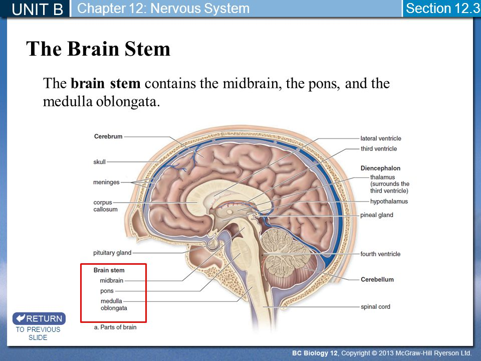 UNIT B Chapter 12: Nervous System. Section 12.3. The Brain Stem. The brain stem contains the midbrain, the pons, and the medulla oblongata.