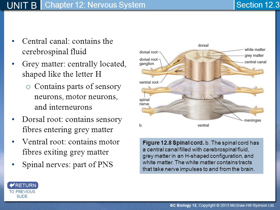 UNIT B Central canal: contains the cerebrospinal fluid