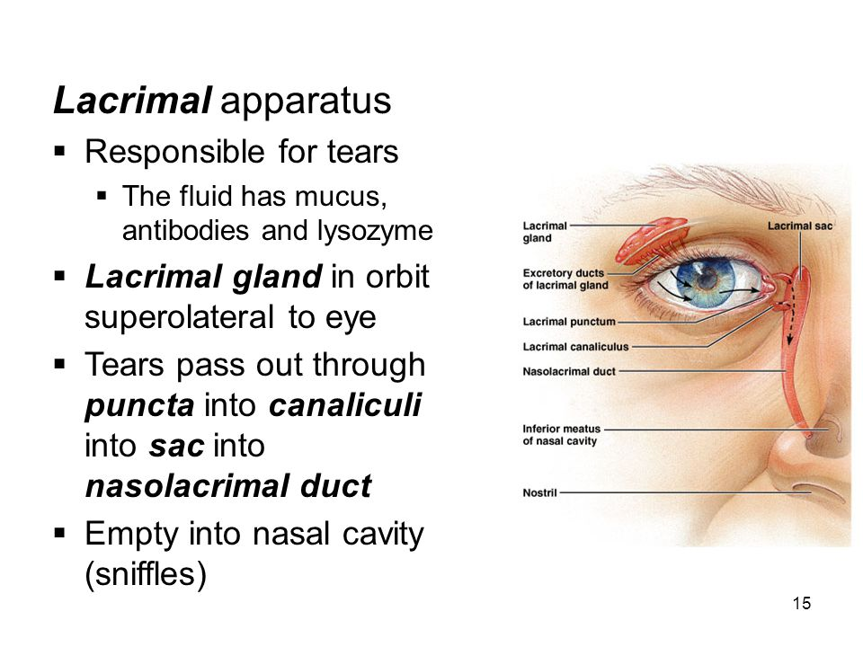 Lacrimal apparatus Responsible for tears