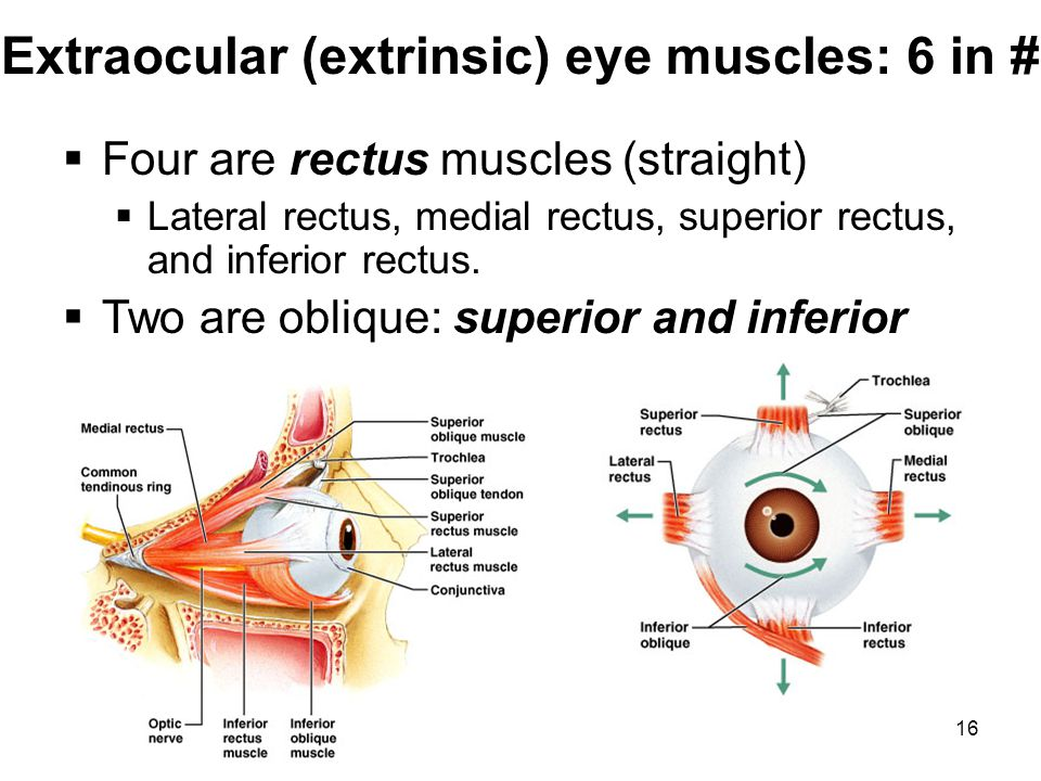 Extraocular (extrinsic) eye muscles: 6 in #