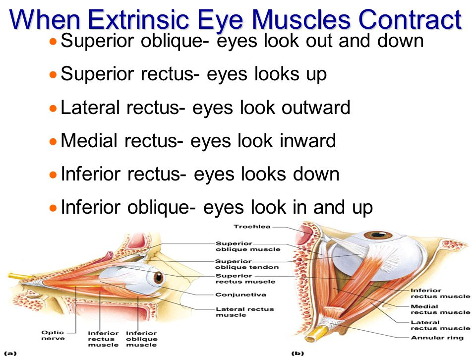 When Extrinsic Eye Muscles Contract