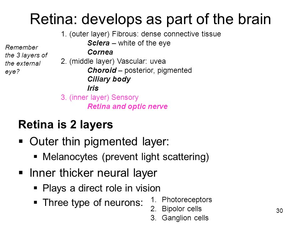 Retina: develops as part of the brain