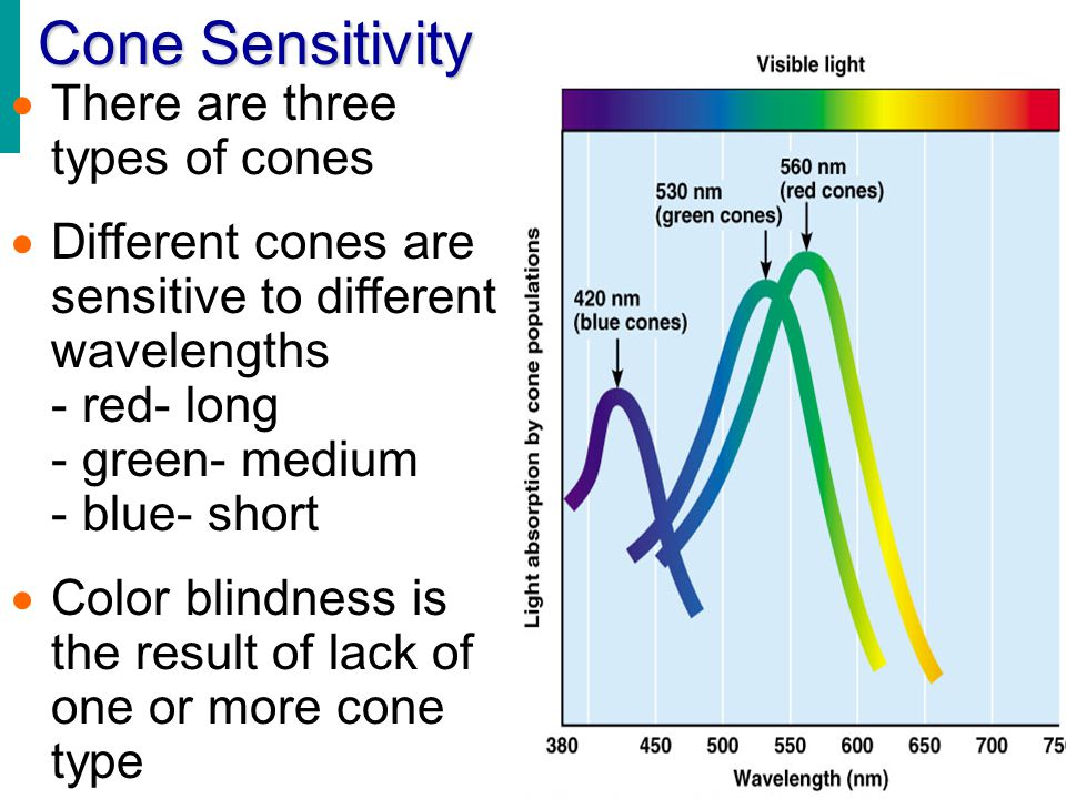 Cone Sensitivity There are three types of cones
