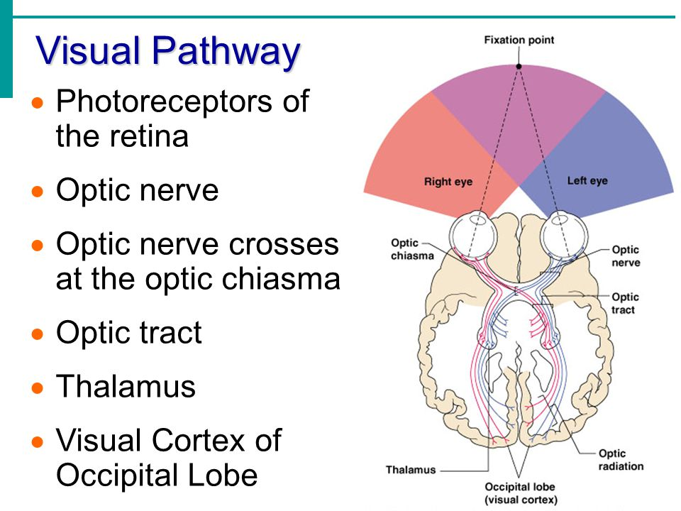 Visual Pathway Photoreceptors of the retina Optic nerve