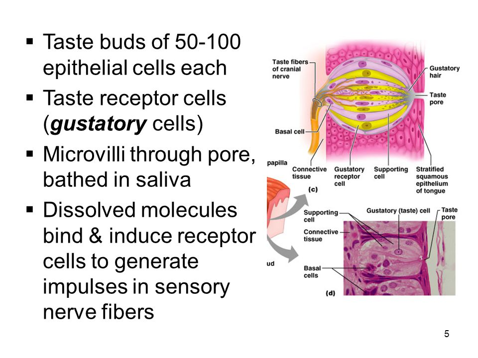 Taste buds of 50-100 epithelial cells each