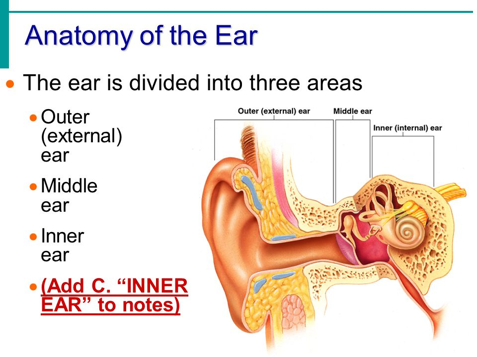 Anatomy of the Ear The ear is divided into three areas