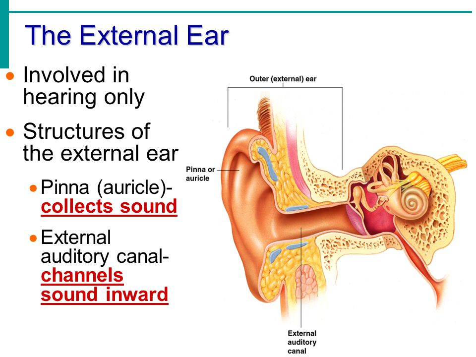 The External Ear Involved in hearing only