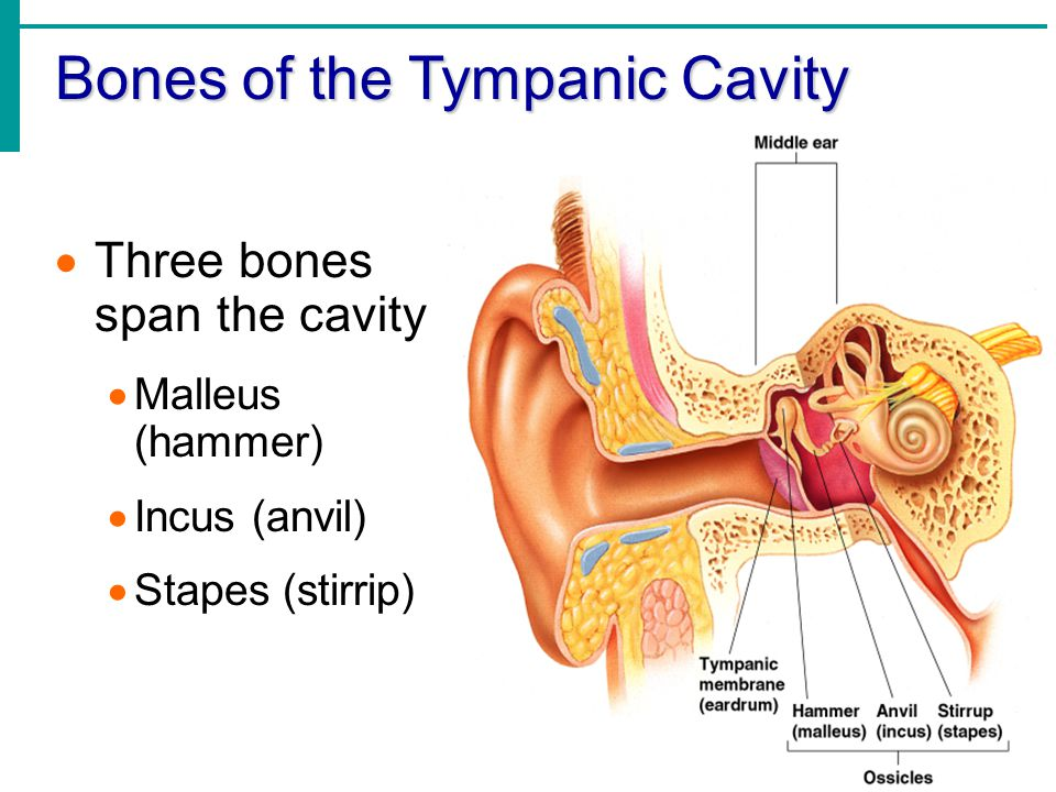 Bones of the Tympanic Cavity