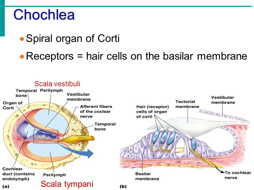 Chochlea Spiral organ of Corti
