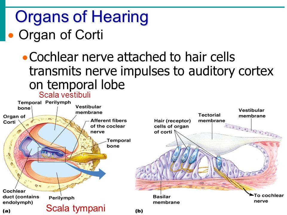 Organs of Hearing Organ of Corti