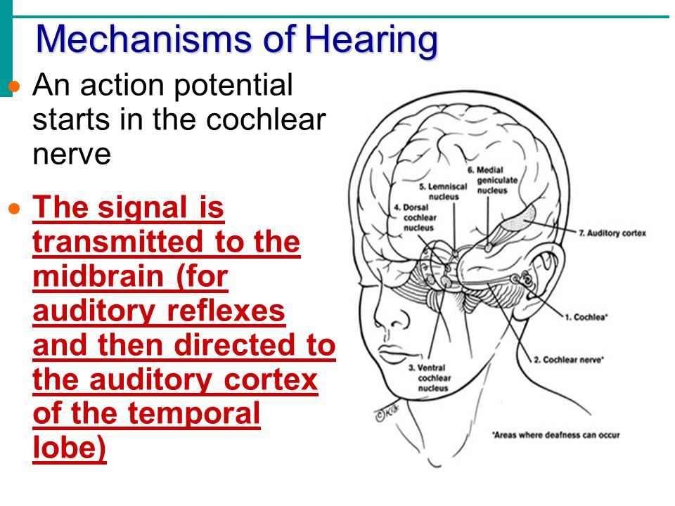 Mechanisms of Hearing An action potential starts in the cochlear nerve