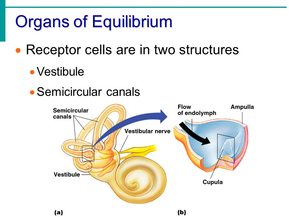 Organs of Equilibrium Receptor cells are in two structures Vestibule