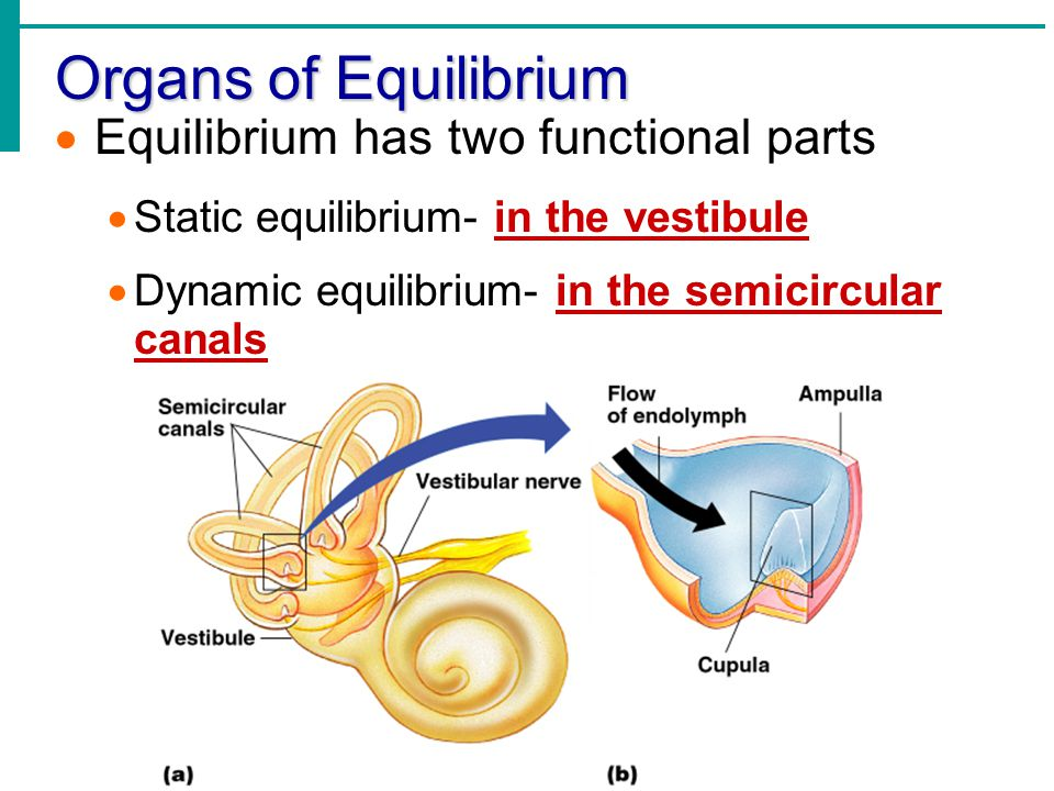 Organs of Equilibrium Equilibrium has two functional parts
