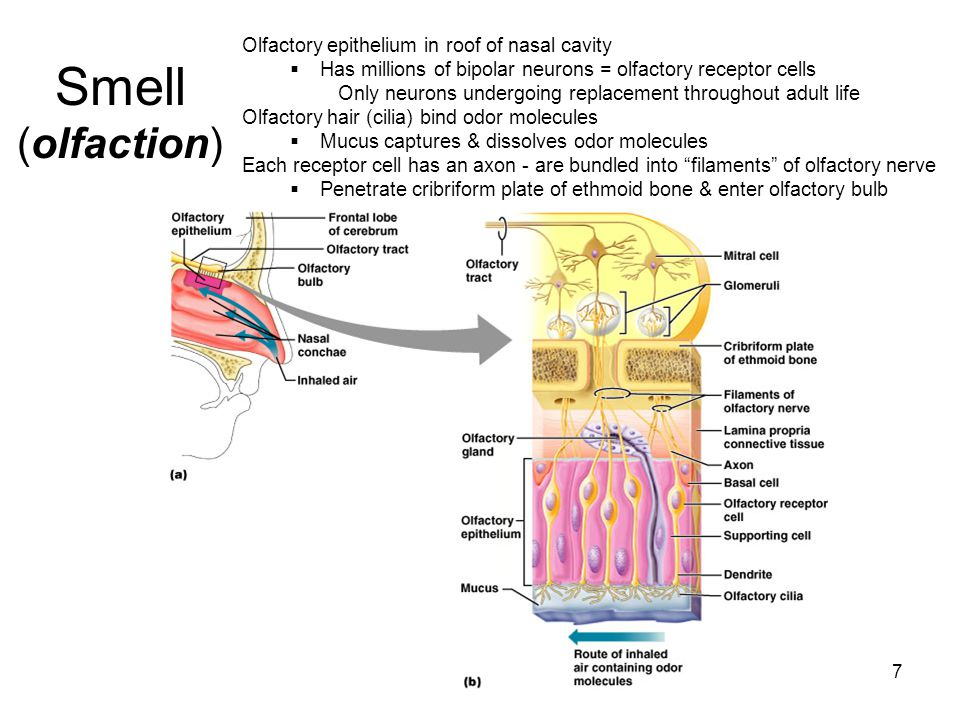 Smell (olfaction) Olfactory epithelium in roof of nasal cavity