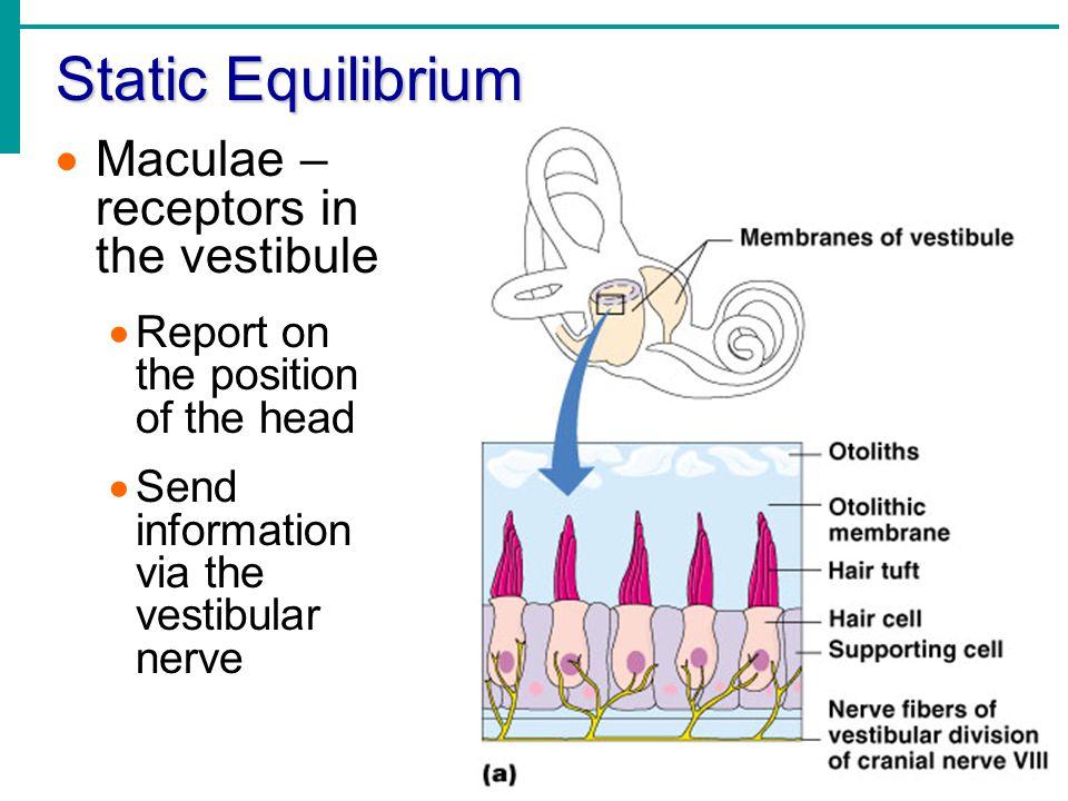 Static Equilibrium Maculae – receptors in the vestibule