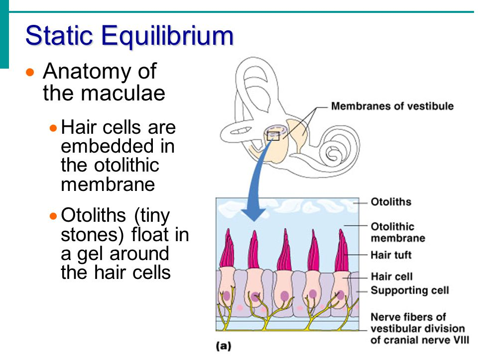 Static Equilibrium Anatomy of the maculae