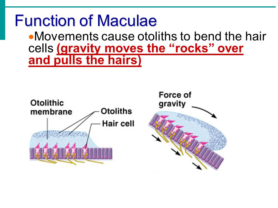 Function of Maculae Movements cause otoliths to bend the hair cells (gravity moves the rocks over and pulls the hairs)