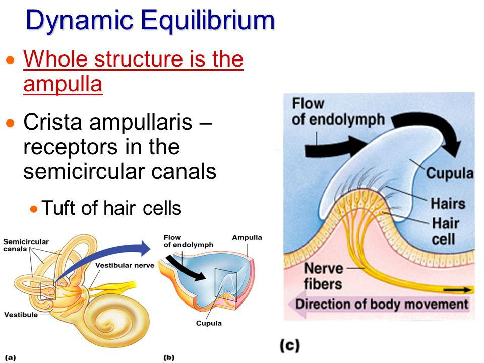 Dynamic Equilibrium Whole structure is the ampulla